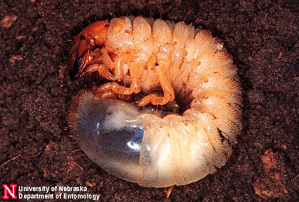Japanese beetle grub - photo#8