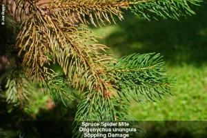 Spider Mites Pine Minnesota